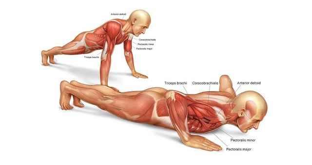 俯卧撑肌肉群