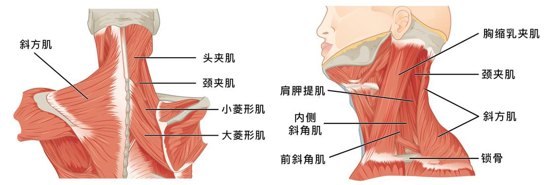 解剖图示意